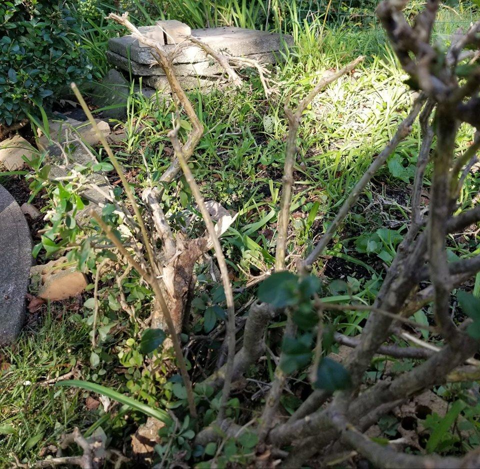 shrub damage