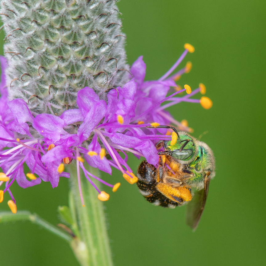 Heather Holm is an author and pollinator educator who will be spending two days at the Pittsburgh Botanic Garden teaching homeowners about the benefits of pollinators. This is a photo she took of a green sweat bee. Photo by Heather Holm