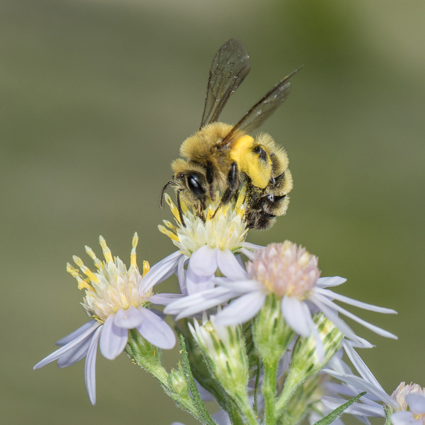 Heather Holm is an author and pollinator educator who will be spending two days at the Pittsburgh Botanic Garden teaching homeowners about the benefits of pollinators. This is a photo she took of a mining bee. Photo by Heather Holm