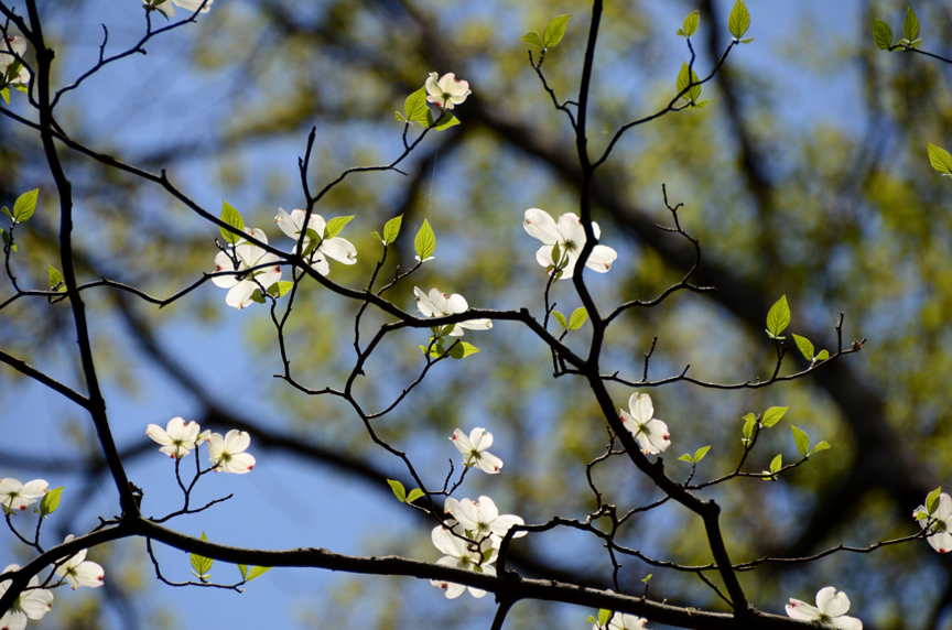 Native dogwoods are easy to grow when planted in the right spot, they are better grown as understory trees.