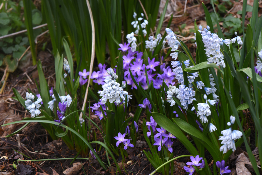 The blue flowers are puschkenia and the purple are 'Violet Beauty' glory of snow. These are some of the spring blooming bulbs that can be ordered right now. They make a great combination and are deer resistant.
