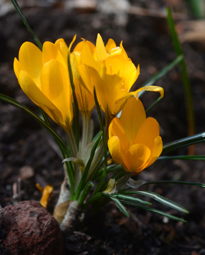 These 'Yellow Mammoth' crocus are the same variety that grew at my childhood home. Planting fall bulbs now will provide spring flowers. Photos by Doug Oster