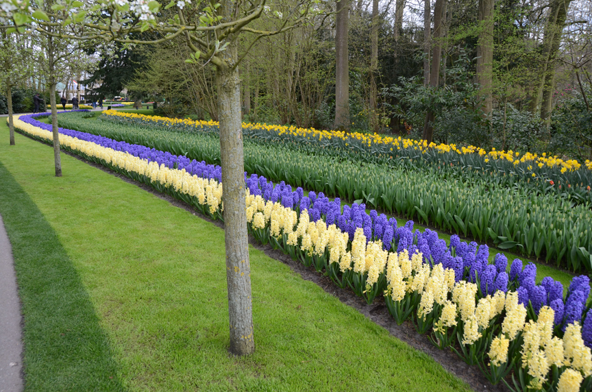 These hyacinths are blooming at Keukenhof in Holland. The bulbs are planted now and will flower in the spring.