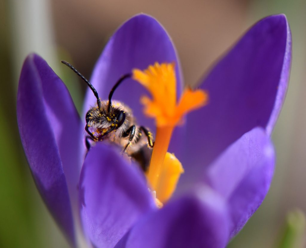 Early flowering spring bulbs like crocus will help pollinators. The bulbs are planted now and will flower in the spring.