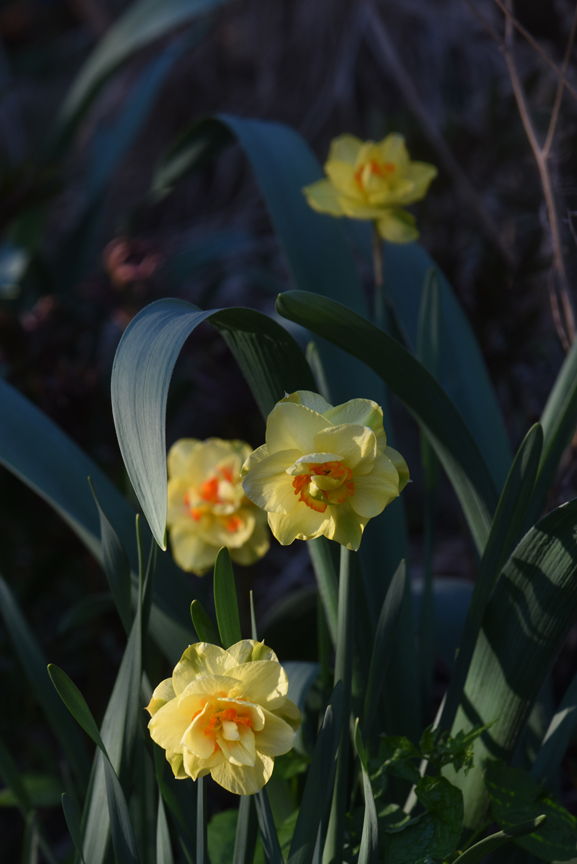 'Tahiti' is a double daffodil, one of 13 different divisions of daffodils. The bulbs are planted now and will flower in the spring.
