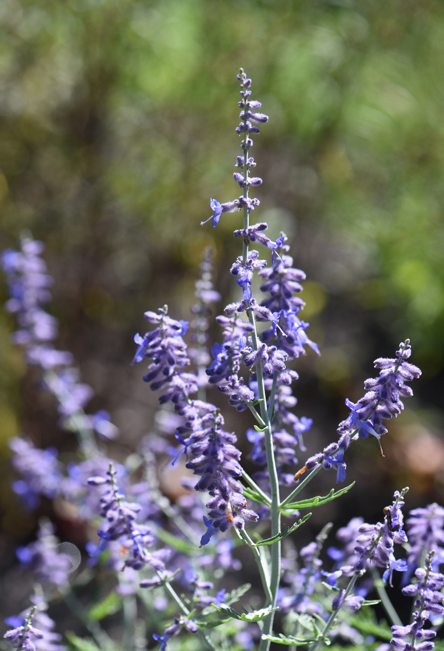 Russian sage is one of the plants in the Sensory Garden at Pioneer Education Center in Pittsburgh.