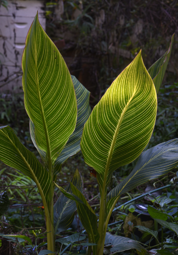 The stripes of Canna 'Bengal Tiger' are lit by a stream of light through the trees.