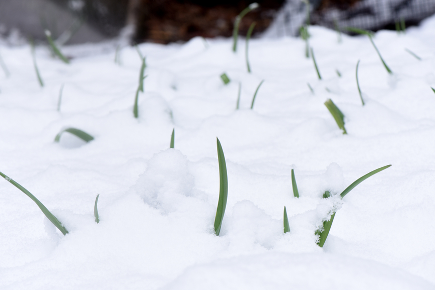 Garlic comes up early and is hardy. No worries when the last snow of the season arrives.