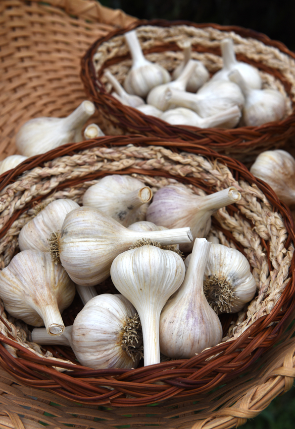 Garlic heads are split up into cloves and then planted. It's important to start with the right type.
