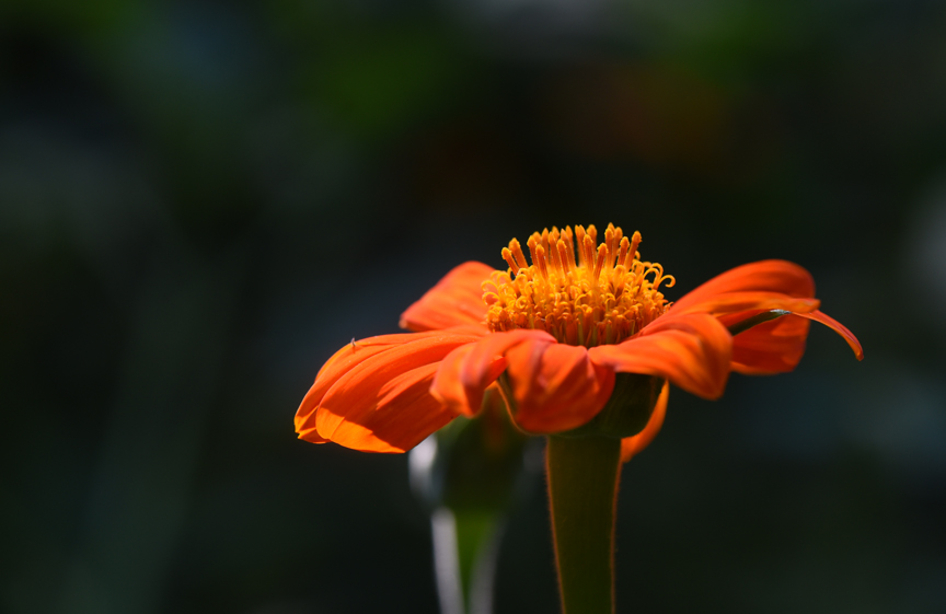 Tithonia or Mexican sunflower is lit by the morning light.