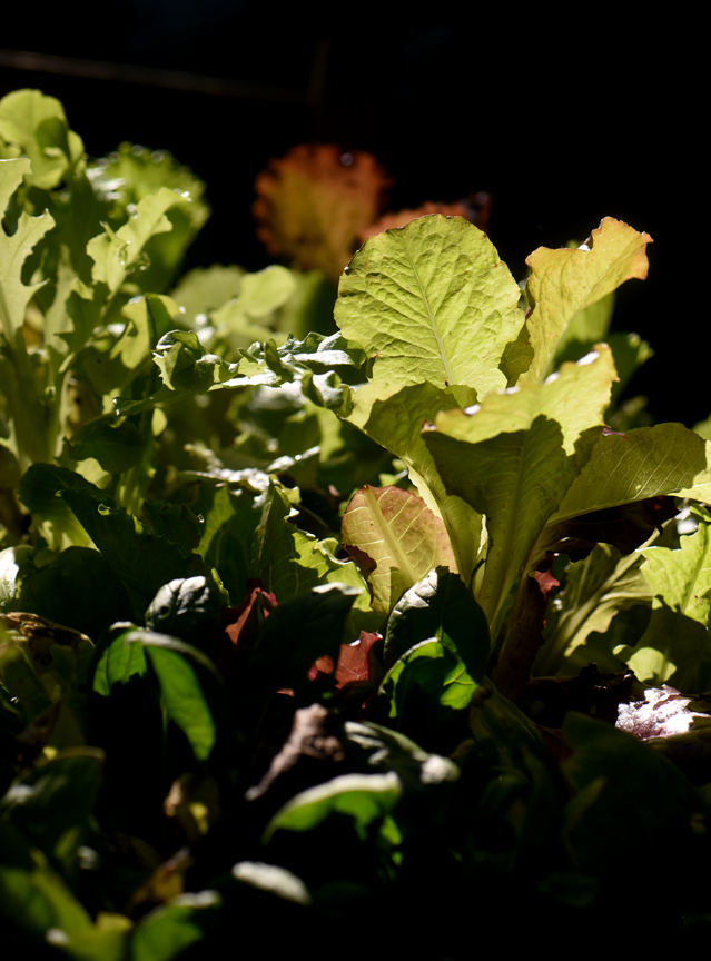 A flat of lettuce, arugula, spinach and other greens is ready to be planted in the fall garden.
