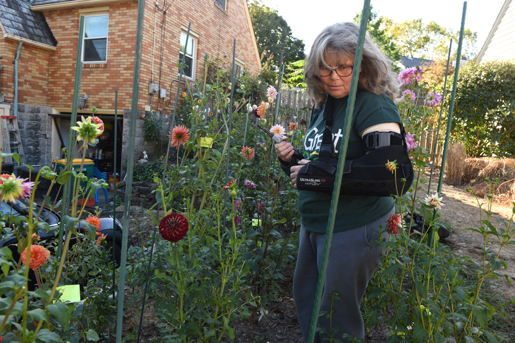 Amy Krut has created a memorial dahlia garden at her Ross Township home in memory of two friends and her father. She shows how saving dahlias for the winter is done.