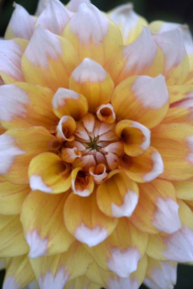 Amy Krut has created a memorial dahlia gardenat her Ross Township home in memory of two friends and her father. This is 'Seattle.' She shows how saving dahlias for the winter is done.