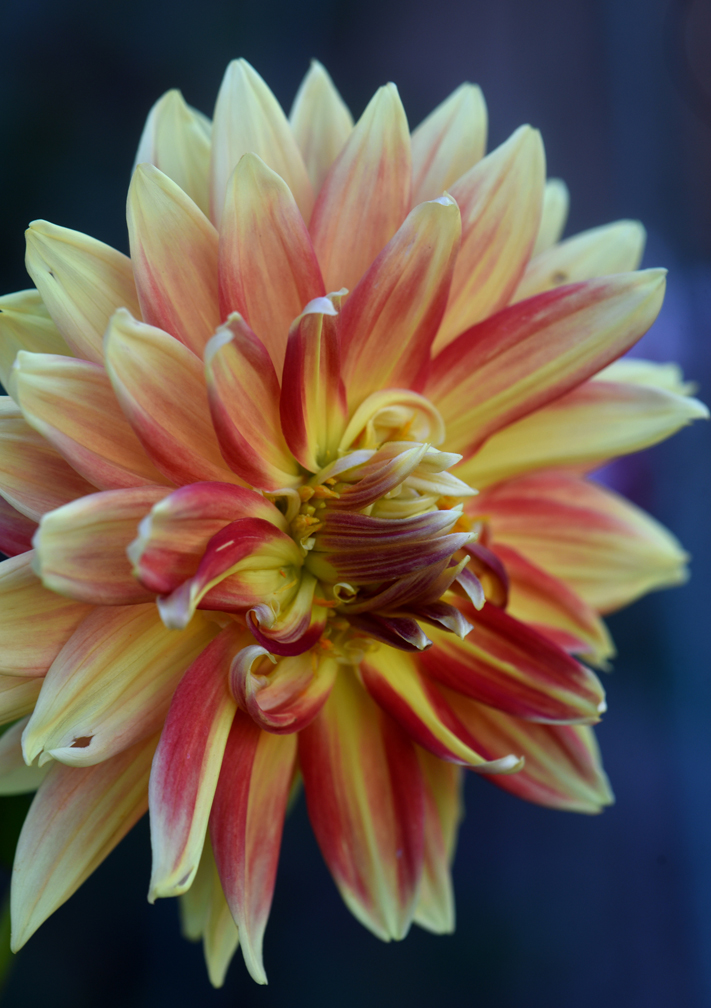 Amy Krut has created a memorial dahlia garden at her Ross Township home in memory of two friends and her father. This is 'Gladiator' in the memorial garden, planted in memory of Krut's battle with cancer. She shows how saving dahlias for the winter is done.