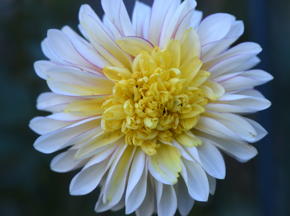 Amy Krut has created a memorial dahlia garden at her Ross Township home in memory of two friends and her father. This is 'Polka.' She shows how saving dahlias for the winter is done.