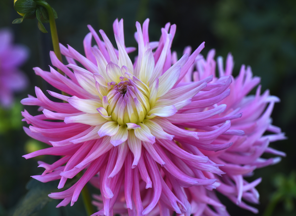Amy Krut has created a memorial dahlia garden at her Ross Township home in memory of two friends and her father. This is 'Star's Favorite.' She shows how saving dahlias for the winter is done.