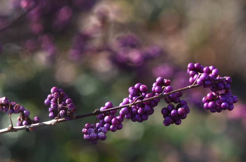 This beautyberry shrub is in full color on the campus of Chatham University in Pittsburgh.