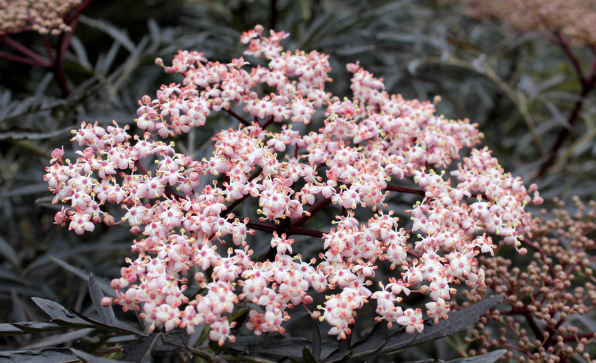 'Black Lace' elderberry from Proven Winners ColorChoice Shrubs is pretty, tough and deer-resistant.