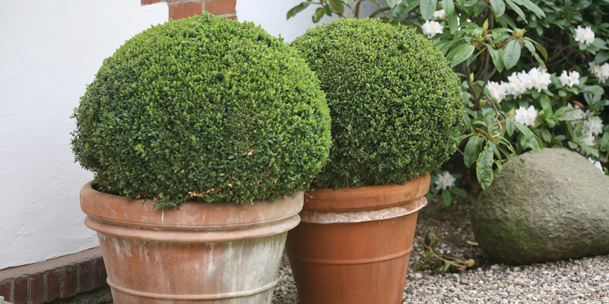 'Sprinter' boxwood from Proven Winners ColorChoice Shrubs is easy to grow and deer-resistant.