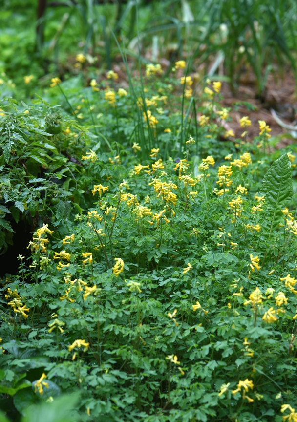 Corydalis lutea is one of those plants I have to write about a couple of times a year. This long blooming perennial is a favorite and it's deer-resistant too.