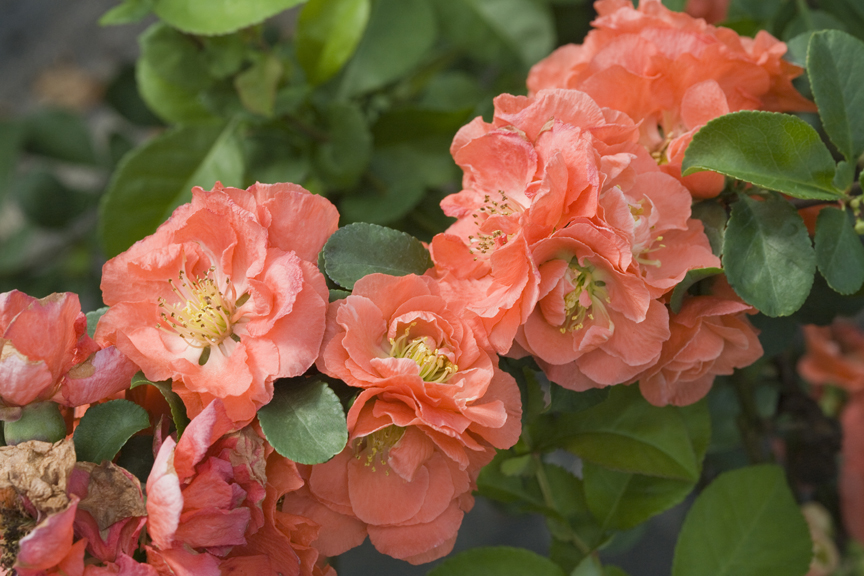 'Double Take Peach' is a stunning quince shrub from Proven Winners ColorChoice Shrubs.