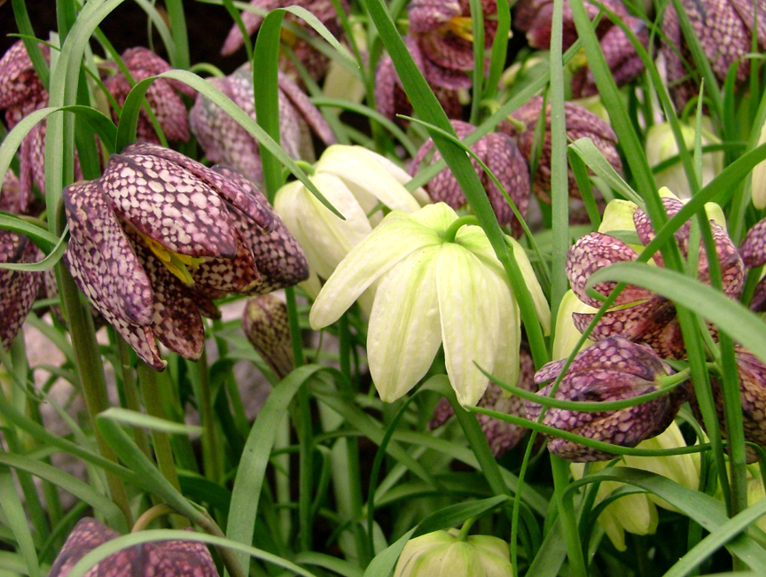 Fritillaria meleagris blooms with a variety of colors in the spring.
