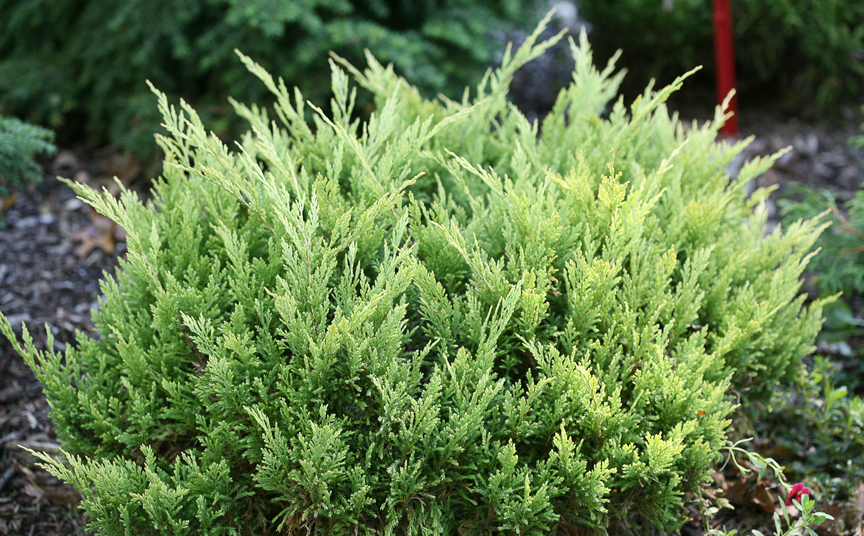 'Good Vibrations' gold juniper is a great choice for the landscape. It's from Proven Winners ColorChoice Shrubs.