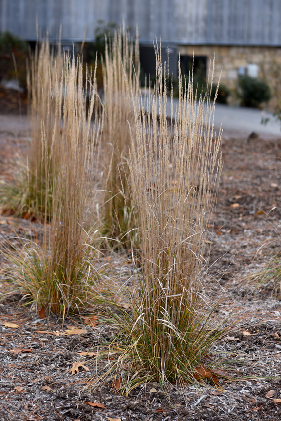 Ornamental grasses are not preferred by deer. They come in many sizes, textures and colors.