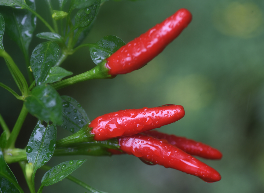 'Super Chili' peppers are a 1988 All America Selection. These peppers are easy to grow and are hot enough to wake you up, but not crazy heat. I'd love to see some deer give the peppers a try.