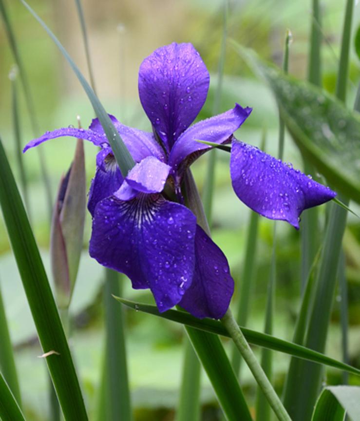 Siberian iris is one of the best deer-resistant flowers.