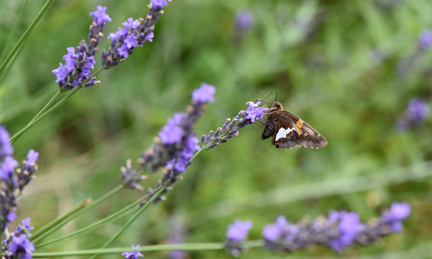 A butterfly visits a lavender plant in a garden bed at the Pittsburgh Zoo and PPG Aquarium.