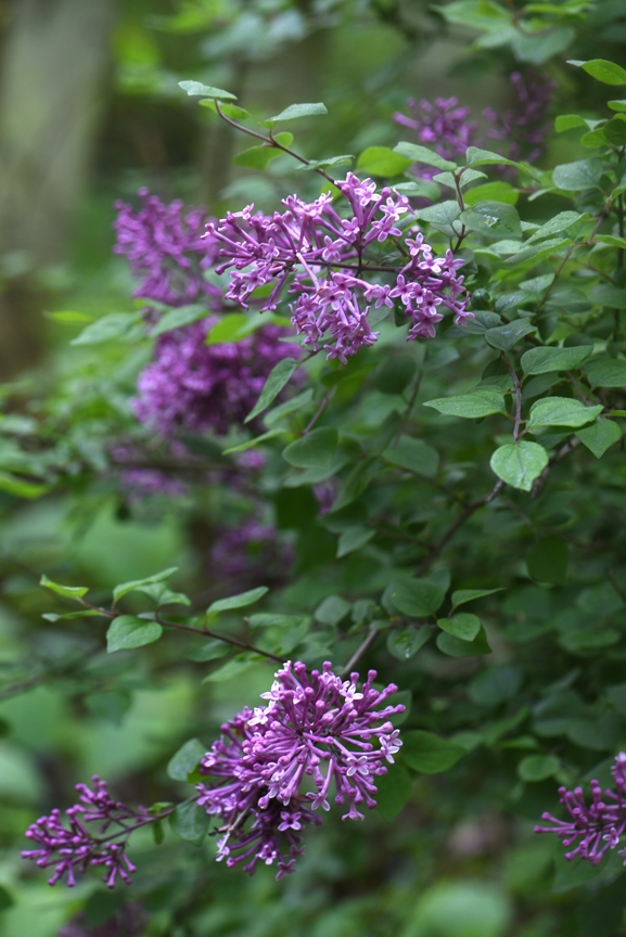 The fragrance of lilacs is unmatched.