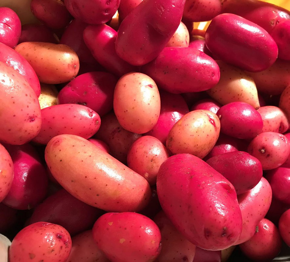 'Clancy' potato is a 2019 All-America Selection. This potato is the first variety which can be started from seed.