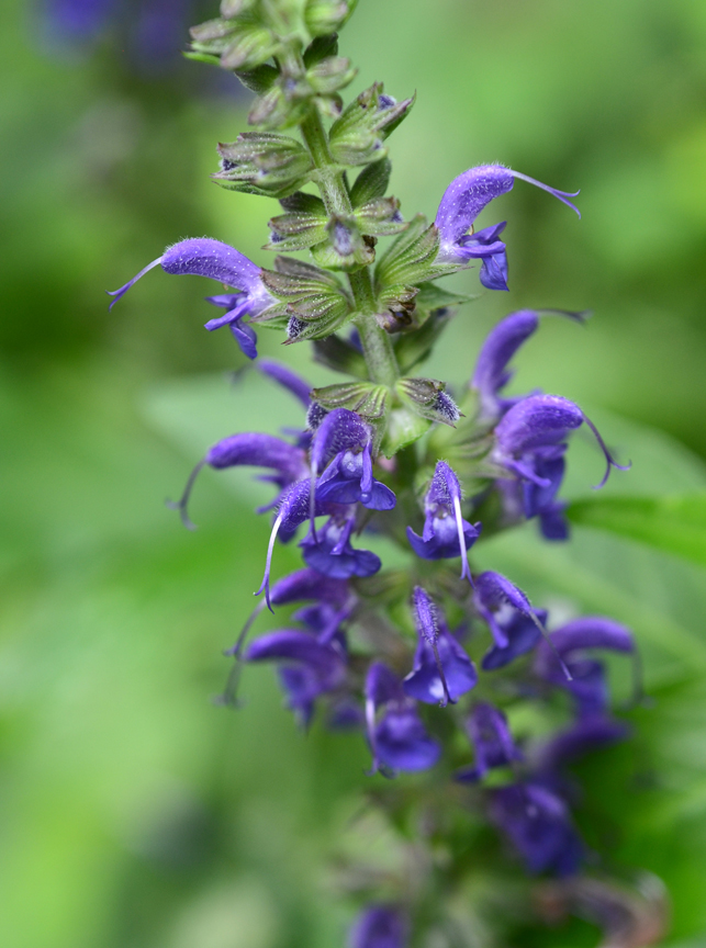 Salvia 'May Night' is a long blooming perennial. After it slows after the first blooms, cut it back for another flush of flowers.