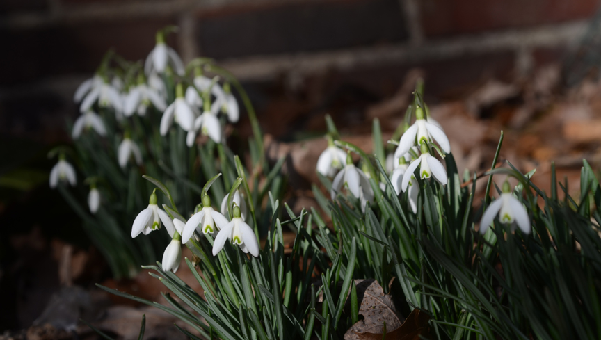 Snowdrops are one of the first flowers to bloom in late winter.