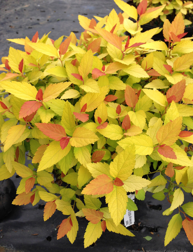 Spirea 'Double Play Candy Corn' is a reblooming spirea from Proven Winners ColorChoice Shrubs