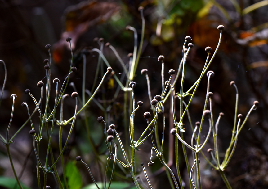 The seed heads of anemone are beautiful.