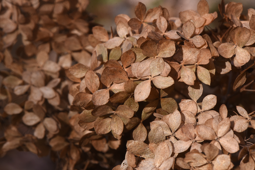 There's beauty in dried hydrangea flowers.
