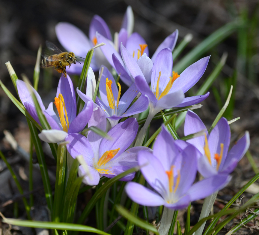 There's still time to plant bulbs like these snow crocus. Not only will they bring joy to the gardener, they are also a good early source of food for pollinators like this honeybee.