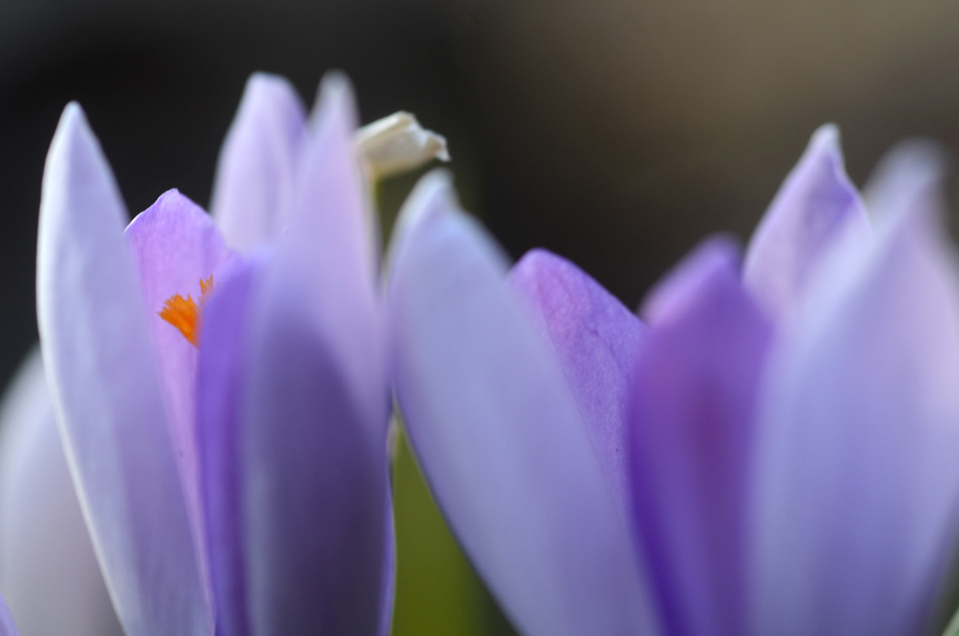 Snow crocus bulbs can be planted now and will bloom as winter ends.