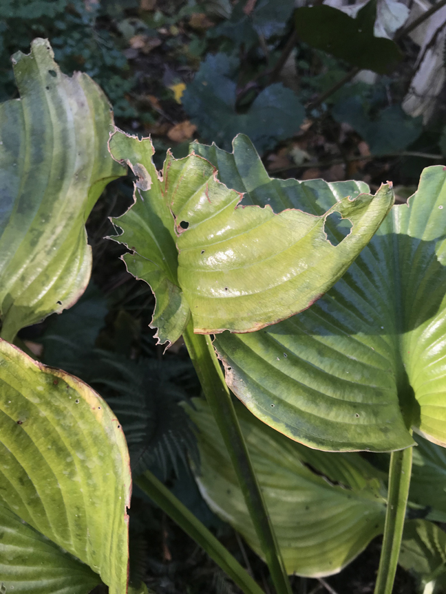 These hostas have been ravaged by deer. Everybody Gardens editor Doug Oster is moving the plants into the fenced in vegetable garden and planting the area with 'Gold Coast' hollies.