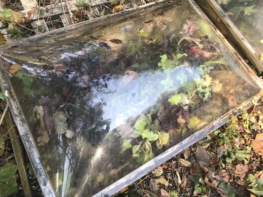 A cold frame is a small unheated greenhouse. This one has a hinged lid with transparent plastic and is filled with mizuna and other greens.