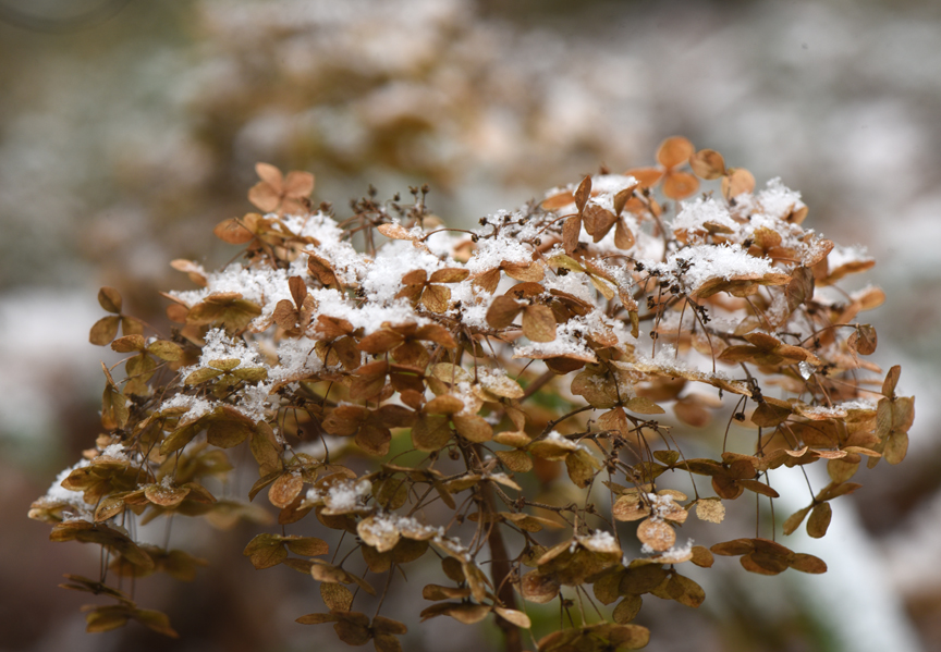 Dried hydrangea flowers are pretty during the first snow.