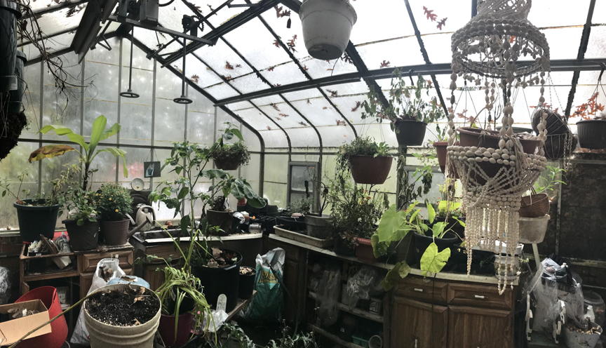 The unheated greenhouse is packed with tender plants.