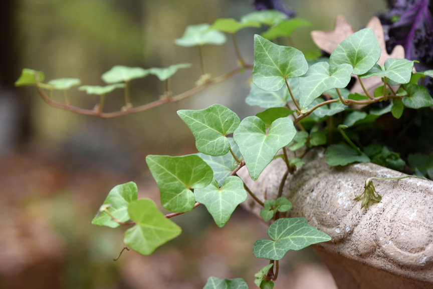 Ivy can be used as a perennial