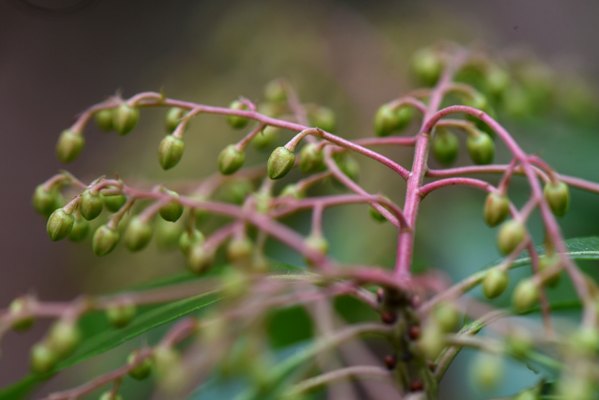 Buds of Japanese pieris patiently wait for spring.