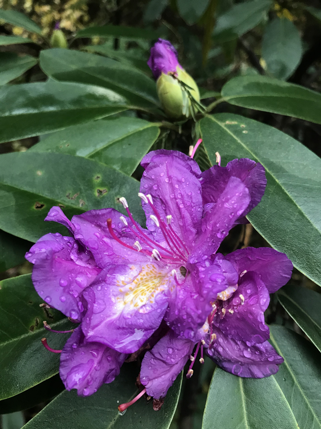 Spring bloomers like rhododendrons can be fooled into flowering in the fall. Photo by Doug Oster