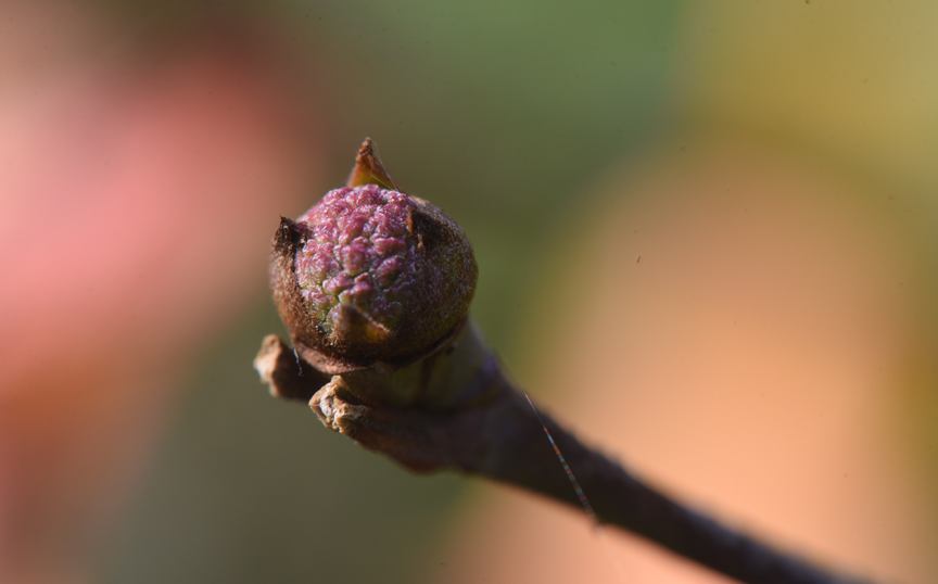 A kousa dogwood bud will wait through the winter to bloom.