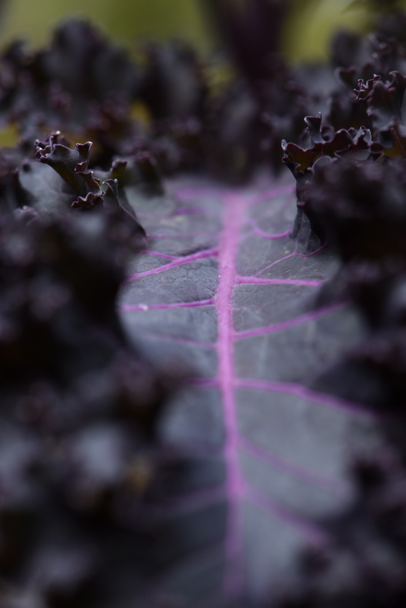 'Redbor' kale was bred as an edible, but is a great winter ornamental.