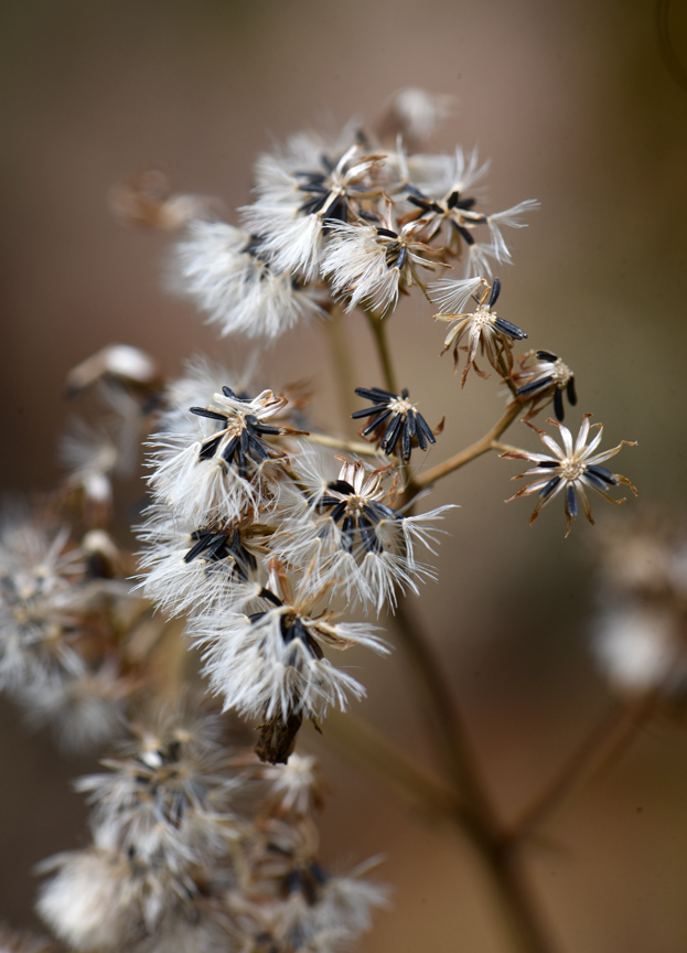 Wildflowers go to seed.